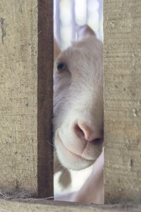 Portrait of white goat in stable - AFVF00128