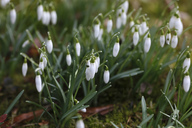 Snowdrops, Galanthus - JTF00924
