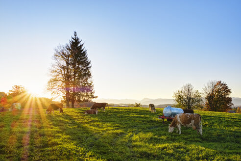 Germany, Bavaria, Upper Bavaria, Alpine foothills, cow pasture in Peretshofen near Dietramszell at sunrise - SIEF07733