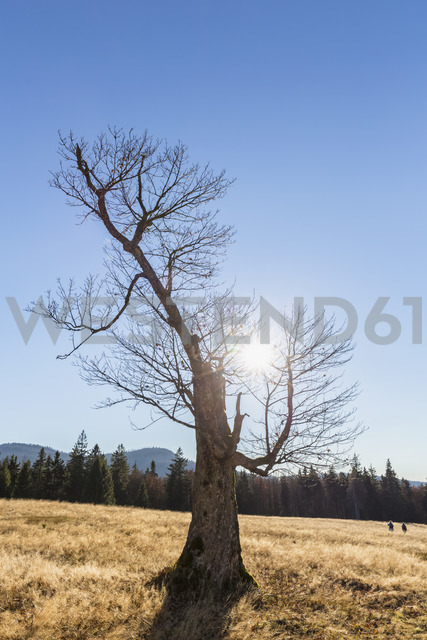 Germany, Bavaria, Lower Bavaria, Bavarian Forest National Park, Hochschachten, very old beech tree - FOF09830