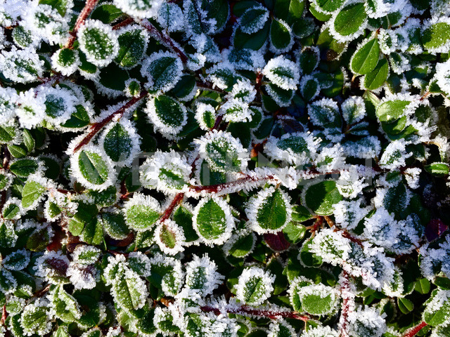 Hoarfrost, ice covered leaves - JTF00926