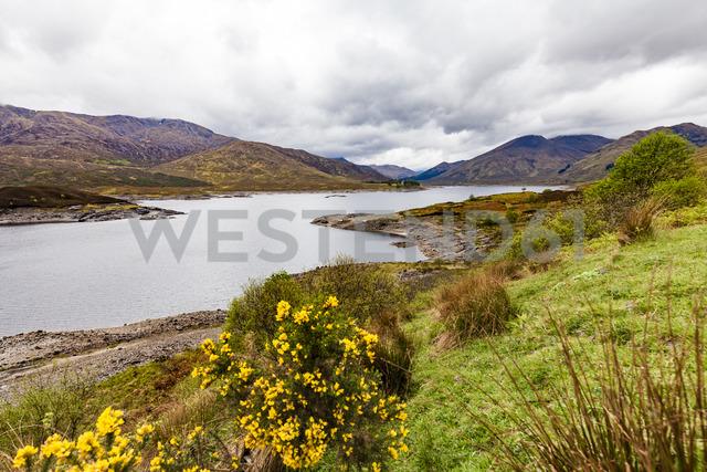 United Kingdom, Scotland, Kintail, Loch Cluanie, lake, ginster, Genista - WDF04453