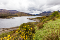 United Kingdom, Scotland, Kintail, Loch Cluanie, lake, ginster, Genista - WDF04453