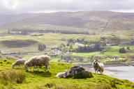 United Kingdom, Scotland, Isle of Skye, Loch Snizort, sheep - WDF04462