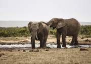 South Africa, Eastern, Cape, Addo Elephant National Park, african elephants, Loxodonta Africana - CVF00164