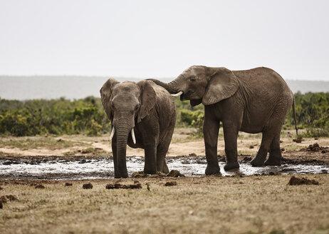 South Africa, Eastern, Cape, Addo Elephant National Park, african elephants, Loxodonta Africana - CVF00164