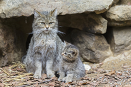 Germany, Bavarian Forest National Park, animal Open-air site Neuschoenau, wild cats, Felis silvestris, mother animal with young animal - FOF09876