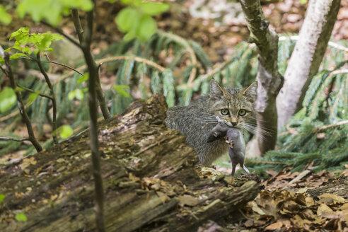 Germany, Bavarian Forest National Park, animal Open-air site Neuschoenau, wild cat, Felis silvestris, with prey - FOF09879
