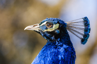 Portrait of Indian peafowl, close-up - WDF04469