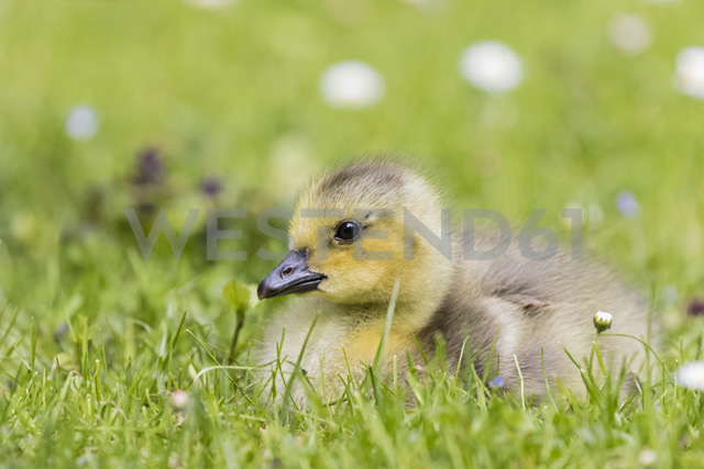 Gosling of Canada goose lying on a meadow - FOF09892