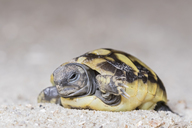 Hermann's tortoise, Testudo hermanni, freshly hatched - FOF09898