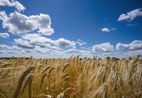 Austria, Hoersching, grain field, barley field - EJWF00854