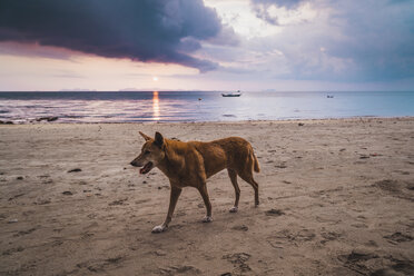 Thailand, Phi Phi Islands, Ko Phi Phi, dog on the beach at sunset - KKAF00897