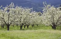 Blooming orchard trees - CAIF00411
