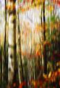 Blurred birch forest in autumn - JTF00937