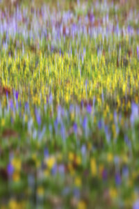 Germany, crocuses and winter aconites, blurred - JTF00940