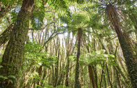 New Zealand, South Island, Westland National Park, rain forest - MRF01793