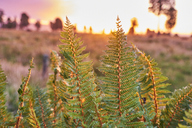 New Zealand, South Island, Westland National Park, fern at sunset - MRF01799