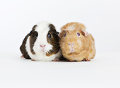 Guinea pigs sitting together - CAIF01674
