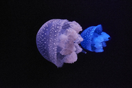 Blue and purple shining jellyfishes in front of black background - MRF01841