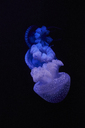 Blue shining jellyfish in front of black background - MRF01844
