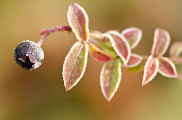 Close up of frosty blueberry plant - CAIF02125