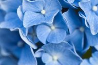 Close up of frosty hydrangea flowers - CAIF02128