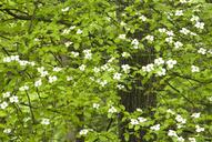 Dogwood flowers growing on tree - CAIF02140