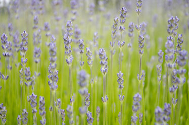 Close up of lavender growing in field - CAIF02146