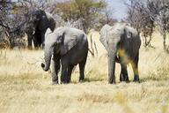 Africa, Namibia, Etosha National Park, african elephants, Loxodonta africana, young animals - CVF00222