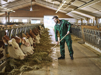 Farmer feeding cows in stable on a farm - CVF00255