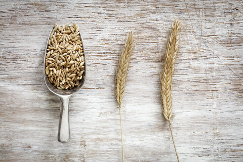 Shovel of rye grains and two rye spikes - EVGF03290
