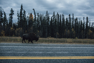 Canada, British Columbia, Northern Rockies, Alaska Highway, bison walking at the road - GUSF00367