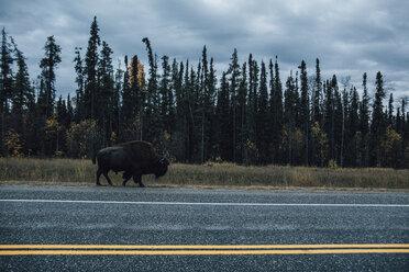 Canada, British Columbia, Northern Rockies, Alaska Highway, bison walking at the road - GUSF00367