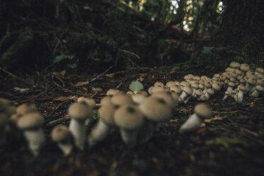 Canada, British Columbia, Cape Scott Provincial Park, wild mushrooms - GUSF00400
