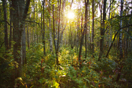 Sun shinning through trees in forest - CAVF00578