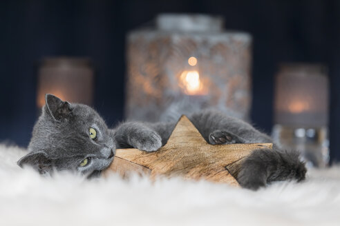 Chartreux kitten playing with Christmas decoration - FOF09970