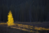 Glowing yellow autumn tree, Kebler Pass Colorado, United States - CAIF07588