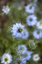 Close up of blue nigella flower - CAIF07600