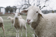 Spain, Castile-La Mancha, Curious sheep looking at camera - SKCF00350