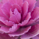 Close up of pink cabbage plant - CAIF08547