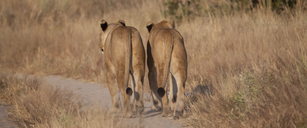 Lions walking on dirt path - CAIF08550