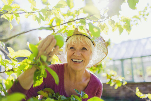 Smiling senior woman picking apple from tree in sunny garden - CAIF09090