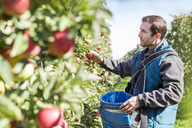Male farmer harvesting apples in sunny orchard - CAIF09958