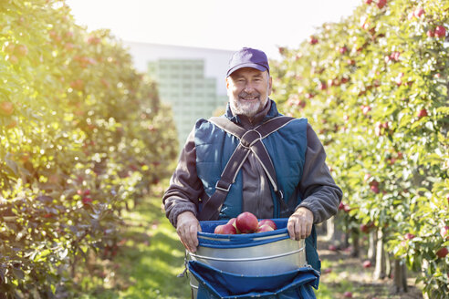 Portrait smiling male farmer harvesting red apples in sunny orchard - CAIF09961