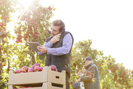Male farmer with digital tablet talking on cell phone in sunny apple orchard - CAIF09970