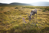 Reindeer grazing in field - CAVF05542