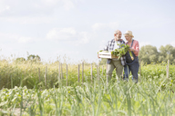 Senior couple harvesting vegetables in sunny garden - CAIF13040
