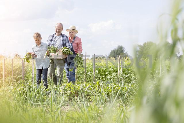 Grandparents and grandson harvesting vegetables in sunny garden - CAIF13064
