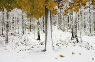 View of snowcapped forest with colorful autumn leaves - CAIF14534